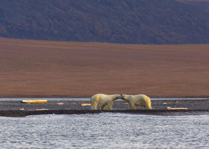 osos-polares-wrangel