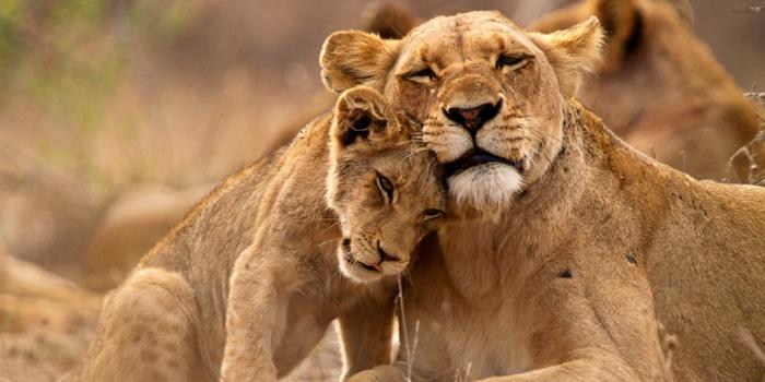 Una leona con una cría acariciándose en un safari por el parque Kruger de Sudafrica