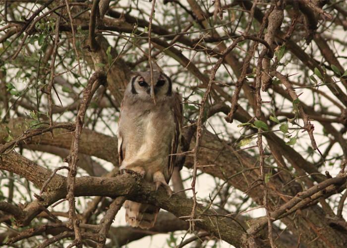 safari en serengeti con un buho en las ramas de un árbol