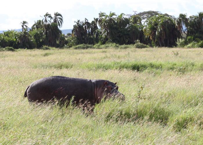 safari en Serengeti con hipopotamo fuera del agua