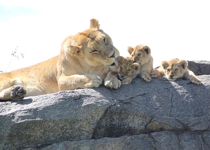 Leones en el safari en Serengeti