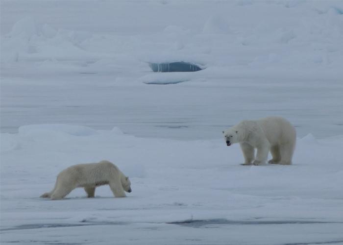 pareja de osos polares en un viaje a Svalbard