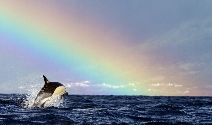 orca en las islas azores con arcoiris de fondo