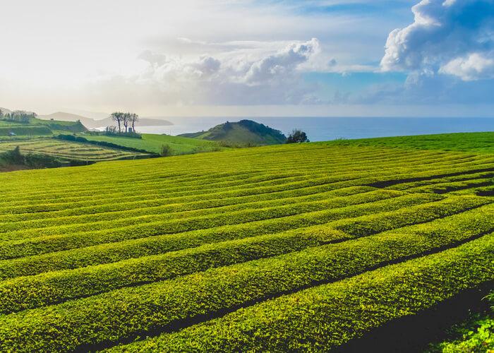 plantaciones de te en las azores