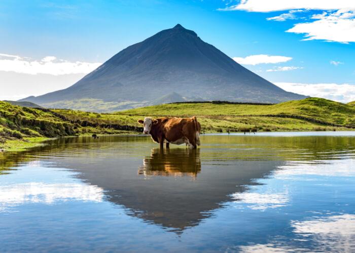 viaje-azores-vacas