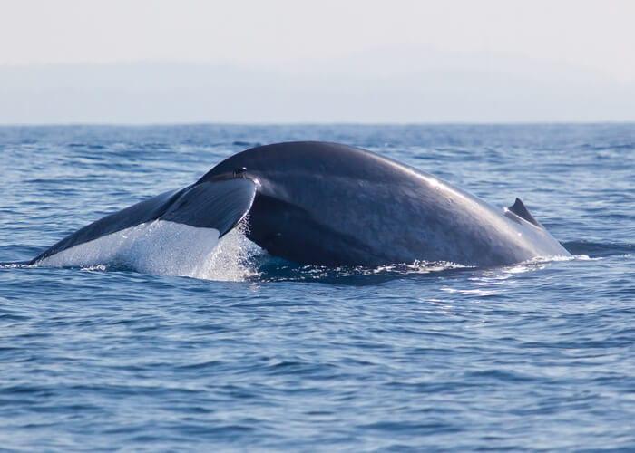 viaje-sri-lanka-ballena-azul