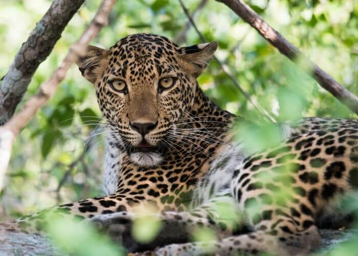 viaje-sri-lanka-leopardo