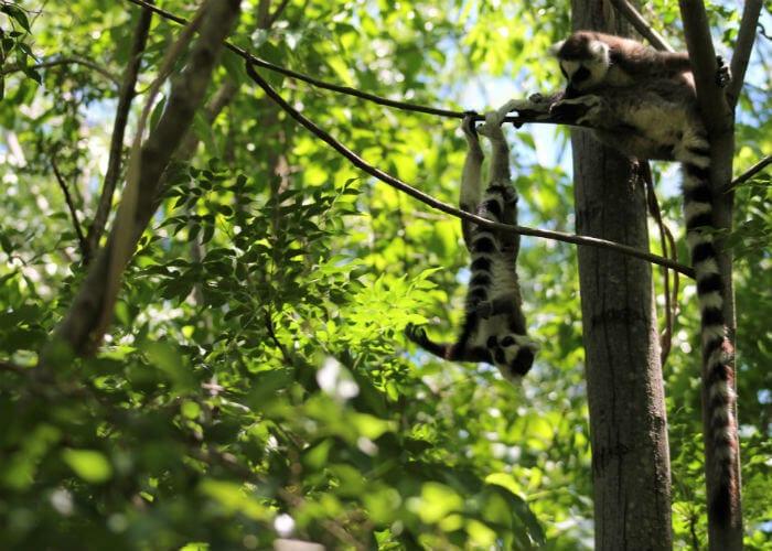 viaje-madagascar-lemures