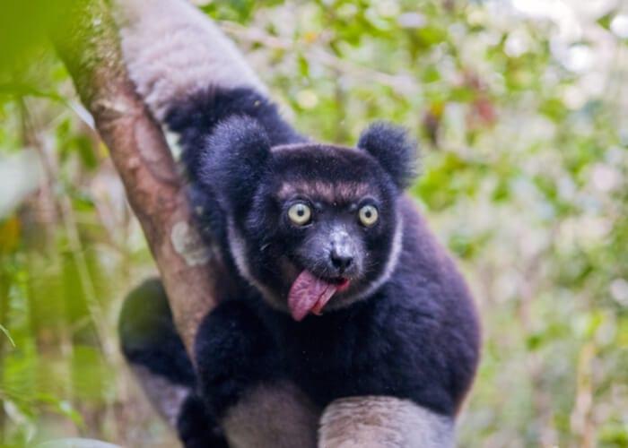 viaje-madagascar-lemur-negro