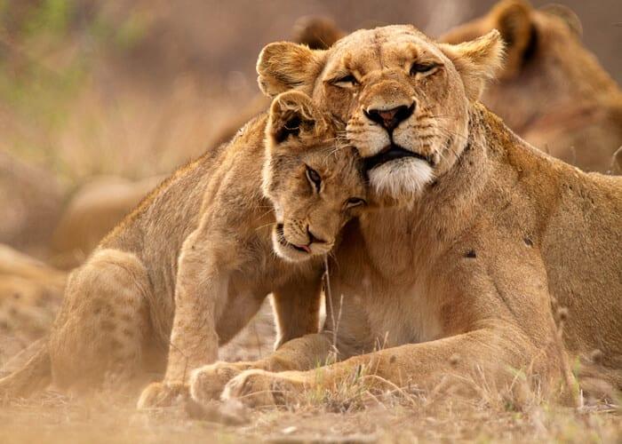 viaje-sudafrica-leones