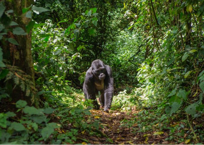 destinos-para-huir-invierno-viaje-a-uganda-gorila-bwindi