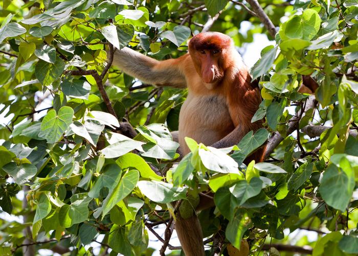 excusas-viajar-a-la-isla-malasia-de-borneo-monos-narigudos-bako