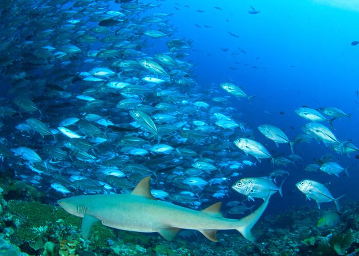 excusas-viajar-a-la-isla-malasia-de-borneo-sipadan-buceo-tiburones