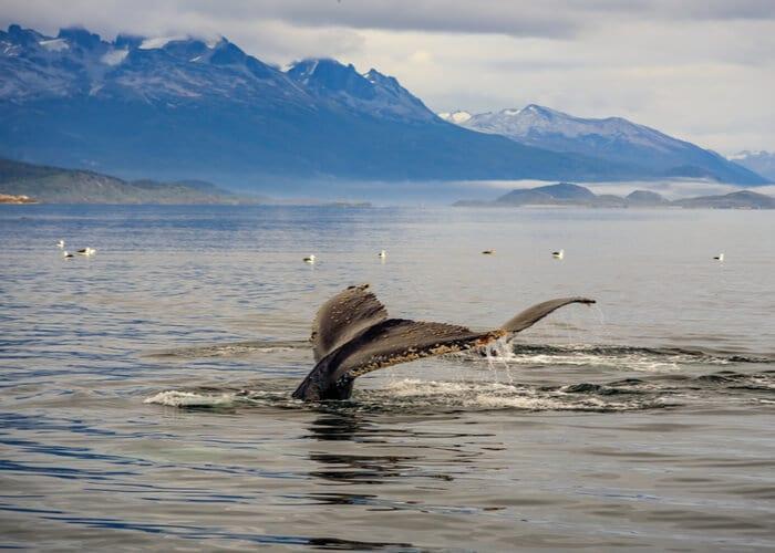 viaje-a-argentina-avistamiento-de-ballenas-australes