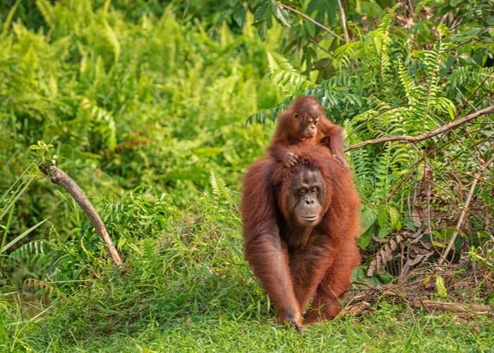 viaje-borneo-orangutanes