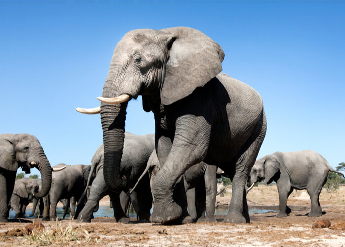 safari_botsuana_elefantes