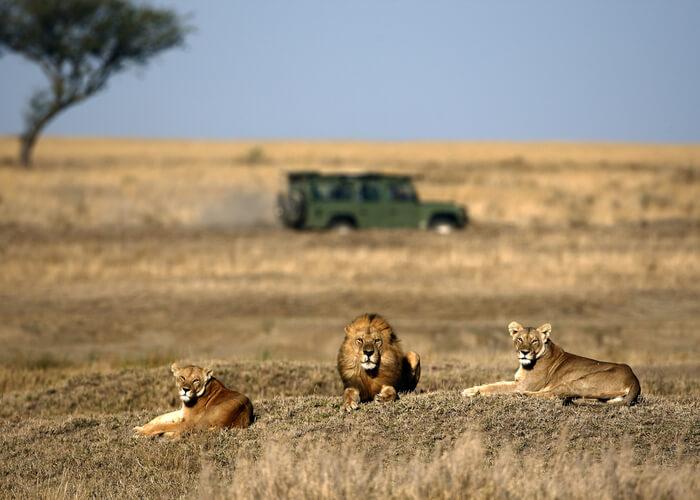 safari_botsuana_jeep_leones