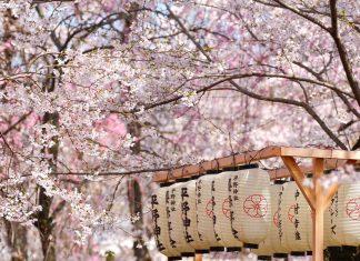 viaje_japon_floracion_cerezos