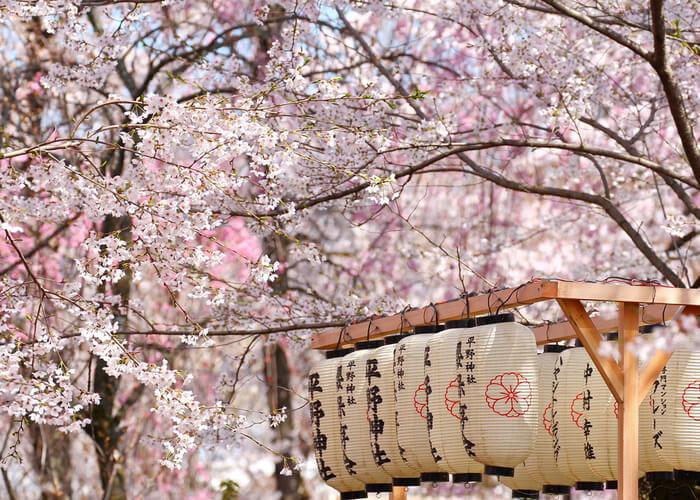 viaje_japon_floracion_cerezos_farolillo