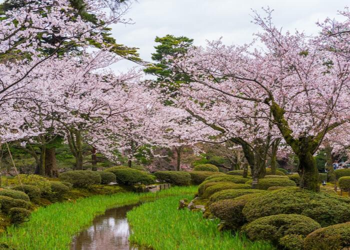 viaje_japon_floracion_cerezos_kanazawa