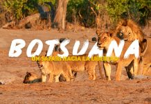 leones en botsuana