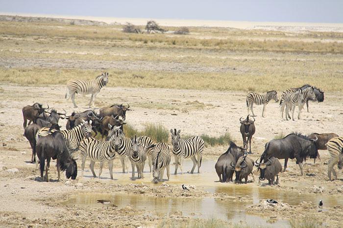 safari-etosha-cebras-ñus