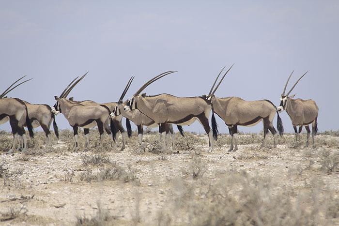 safari-namibia-oryx
