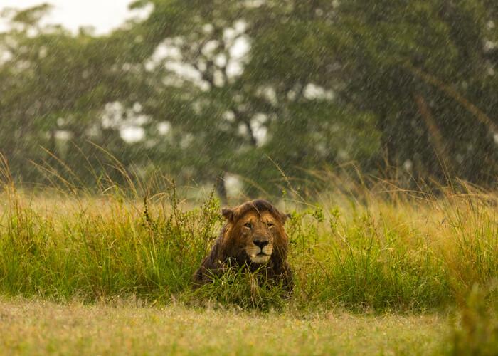 safari_kenia_leon_lluvia