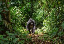 safari_uganda_gorila