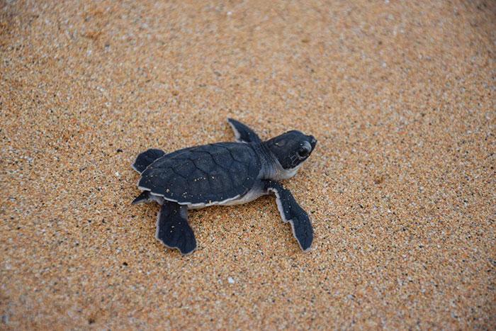 desove-tortugas-principe-viaje