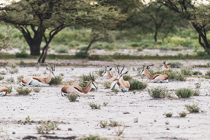 mejor-epoca-etosha-impalas