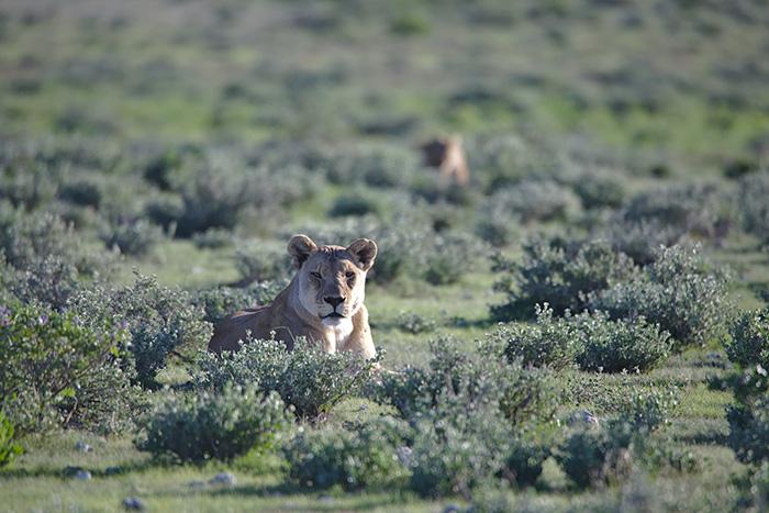 mejor-epoca-safari-namibia-leona