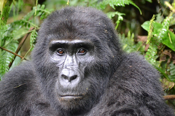 viaje-autor-gorilas-uganda