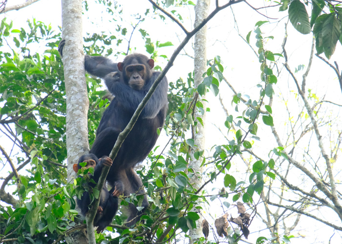 que-hacer-uganda-chimpances
