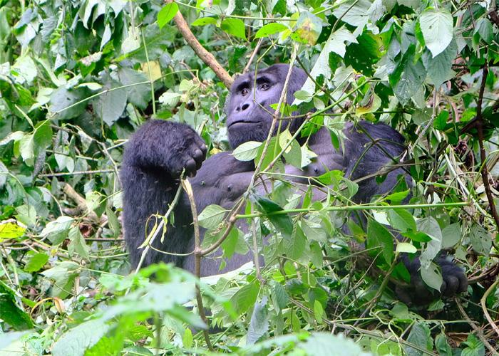 que-hacer-uganda-gorila