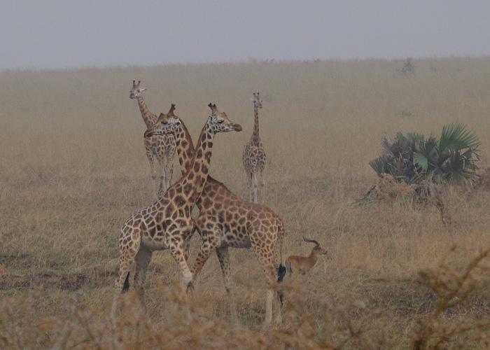 que-hacer-uganda-jirafas